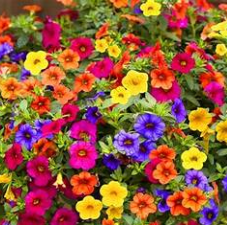 18 Mixed Calibrachoa Petunia