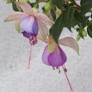 Fuchsia Jollies Belford