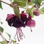 Fuchsia Jollies Tulle