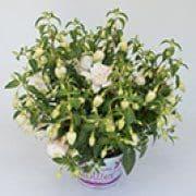 Fuchsia La Grande Bretagne