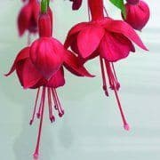 Fuchsia Marinka