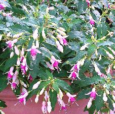 Fuchsia Mini Rose